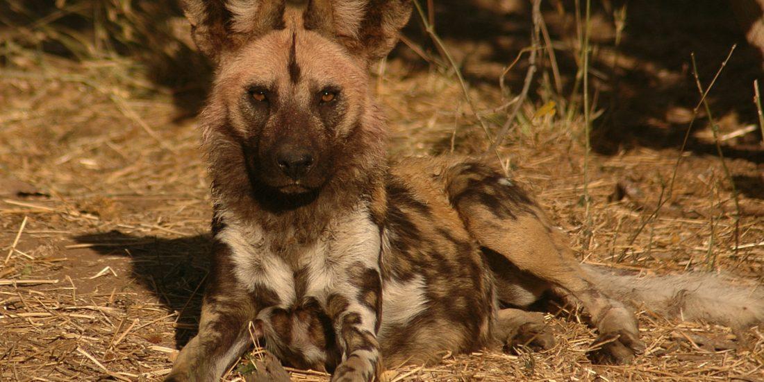 Situasjonen for Afrikas villhunder er i grunnen et slags svar på konflikten mellom ulver og mennesker i Norge. Foto: Craig R. Jackson