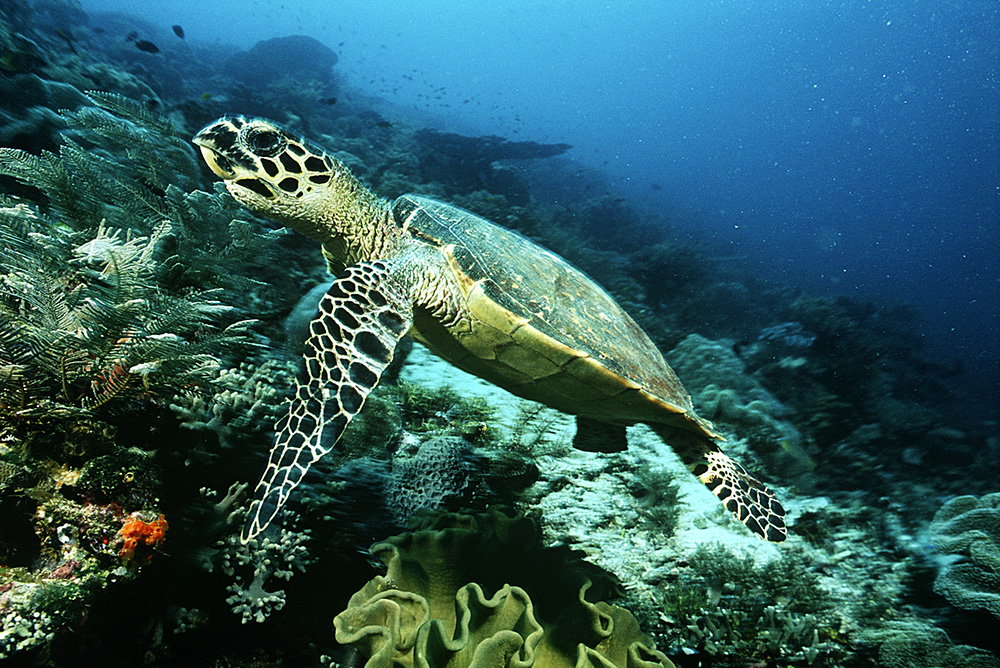 This Hawksbill Turtle Eretmochelys Imbricata Which Lives In The Coral Reefs Off Of