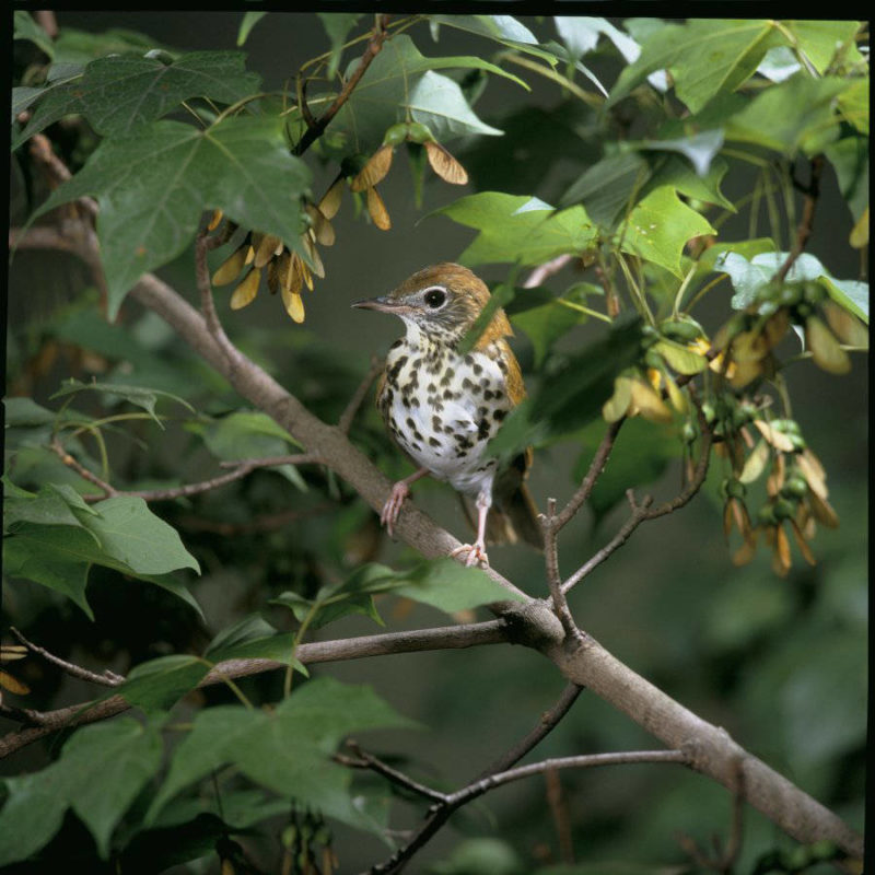 A wood thrush in its native habitat in the US. Photo: Steve Maslowski, US Fish and Wildlife Service