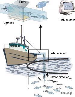 A video camera, lighting system, mirror and computer are used to photograph a fish from various angles as it passes through a transparent section of the pipe in which it is pumped from the sea-cage to the boat. The images allow the volume and weight of the fish to be estimated. The fish slaughterhouse can upgrade the quality of its work, and the fish farmer knows just how much he has delivered. Illustration: Jan H. Johansen, SINTEF Media