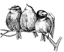 Vår minste fugl, fuglekongen på bare 5 gram, overnatter ofte i gruppe når det er kaldt. Da sitter de tett sammen, ofte under en grein. Her har tre fugler, riktignok svært motvillig, klumpet seg sammen. Ingen av tre synes å sette pris på løsningen; de ytterste vender nebbet utover, den midtre holder hodet vendt opp. Tegning: Ellen Thaler
