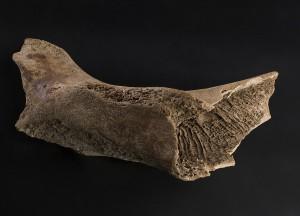 Den 6600 år gamle hvalrossen ble funnet i en morene i Isfjorden på Svalbard allerede i 1956. Foto: Åge Hojem, NTNU Vitenskapsmuseet
