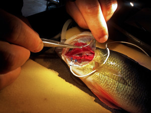 How do you measure a fish's metabolic rate? With very small sensors. Photo: Fredrik Jutfelt