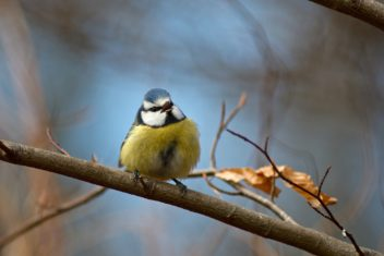 A Eurasian blue tit works on attracting a mate. Photo: Erik Rosenlund, Colourbox