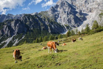 Herd of cows graze in a pasture in the Alps. The Austrian Alps