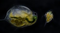 Som water fleas, they look translucent and strange