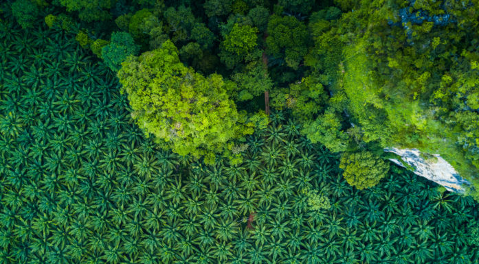 Palm oil plantation and native forests