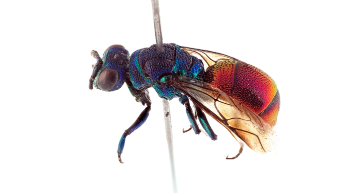 The new species of wasp