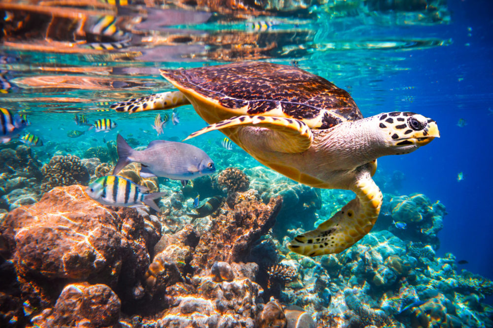 Coral reef with turtle